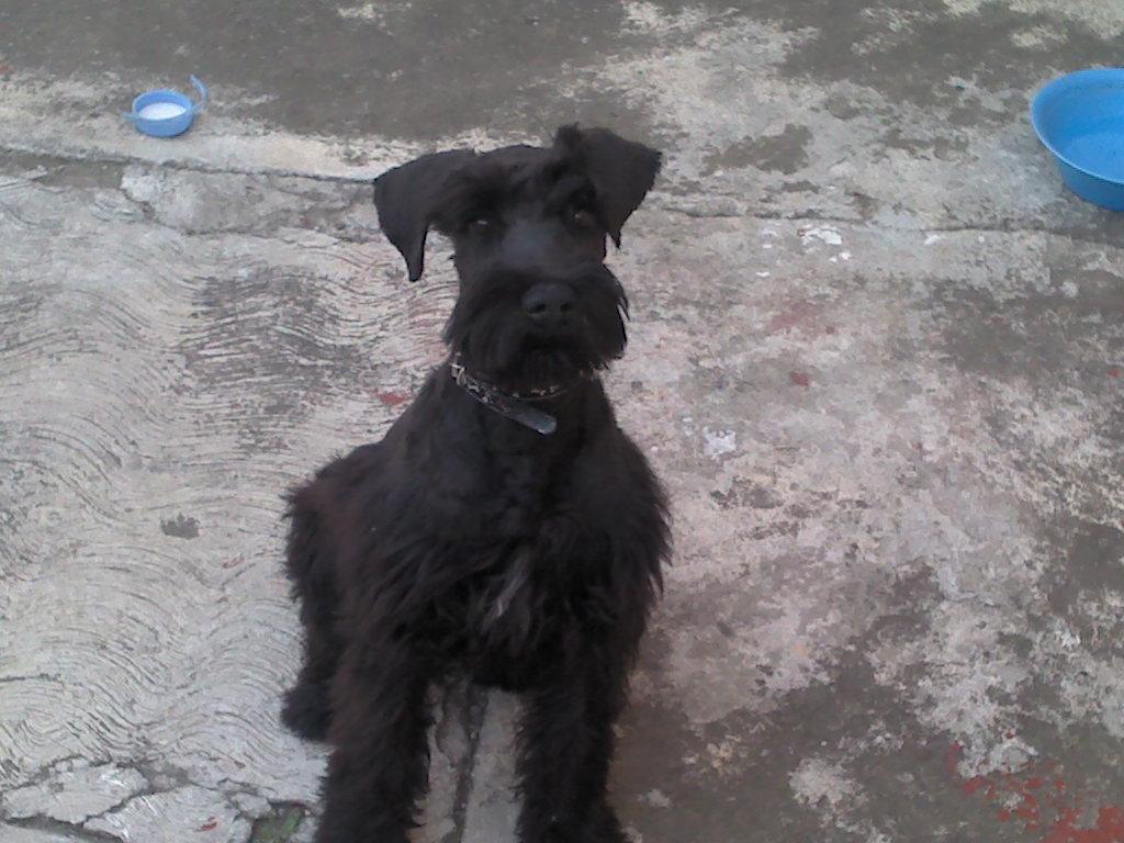 Perro schnauzer negro