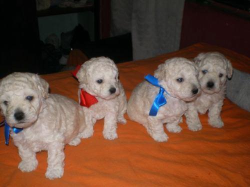 Regalo Cachorro Poodle 2 Meses Pequeñisimo Cachorros Comunidad Mascotadictos